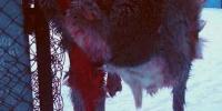Под Каменском-Уральским задержали браконьера с тушей косули