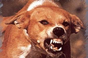 Животные в Каменске-Уральском оказались одними из самых агрессивных в области. Это подтверждает количество пострадавших от них