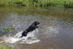 Пес Гаунер из Каменска-Уральского стал победителем областных соревнований охотничьих собак на воде