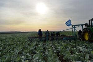 За две с половиной недели студенты Каменск-Уральского агропромышленного техникума собрали в Белоярском районе почти две тонны капусты