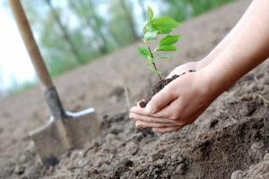 Вместо выкопанных деревьев в Каменске-Уральском высадят новые
