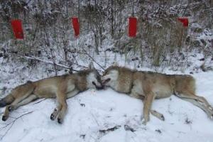 В лесах под Каменском-Уральским появились волки. К счастью, их удалось убить. Но могут появиться новые