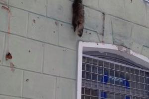В Каменске-Уральском под окном многоквартирного дома повесили шкурку енота